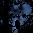 Long-eared Owl at midnight. by Remo Savisaar