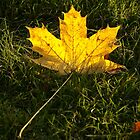 A fallen maple leaf in the sun by steppeland