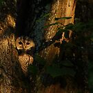 Young Tawny Owl by Remo Savisaar