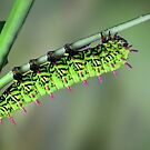Antherina suraka caterpillar by jimmy hoffman