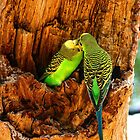 Budgies Feeding by Guyzimijz