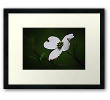 Dogwood Tree Blossom Framed Print