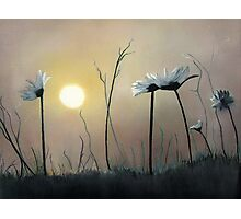 Daisies at Dusk Photographic Print