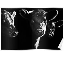 Cow With Calves #2 Poster