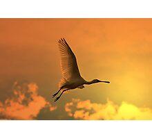 Spoonbill Stork - Sunset Flight of Color - African Wild Birds Photographic Print