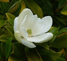 The Magnolia by Trish Meyer