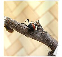 Where to Now ... Redback Spider : Latrodectus hasselti Poster