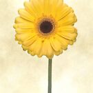 Yellow Gerbera Flower by Ra12