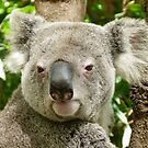 Koala, Birdland Animal Park by Trish Meyer