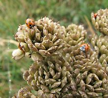 Close-up Ladybirds by Richard Winskill