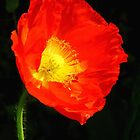 Stand Alone Poppy by Marilyn Harris