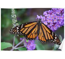 Monarch Butterfly on Lilacs Poster
