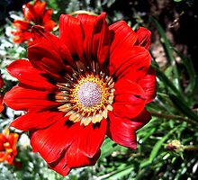 Red daisy by cathysroom