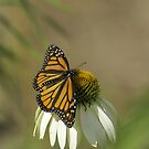 Monarch On Cone Flower by Thomas Young