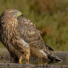 Juvenile Female Northern Groshawk ( Accipiter gentilis) - II by Peter Wiggerman