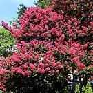 Crepe Myrtles in Bloom by WeeZie