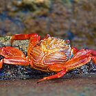 Ecuador. Galapagos Islands. Santa Cruz Island. Crab. by vadim19