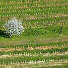 The cherry tree in the vineyard by annalisa bianchetti