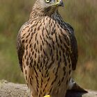Juvenile Female Northern Groshawk ( Accipiter gentilis) - IV by Peter Wiggerman