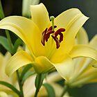 Trebbiano Lily by Sandy Keeton