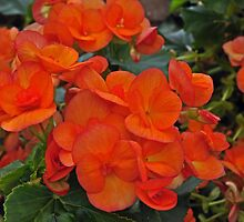 Orange Begonia by Karen Martin
