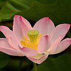 Pink lotus flower by Thad Zajdowicz