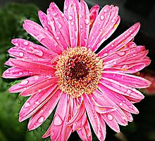 Pink Gerbera by Scott Mitchell