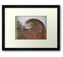 I'll Soon Soar The Countryside Once More - Harrier Hawk - NZ Framed Print