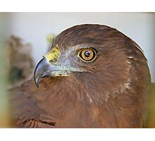 I'll Soon Soar The Countryside Once More - Harrier Hawk - NZ Photographic Print