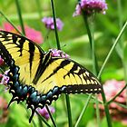 Yellow Tiger Swallowtail  by shutterbug2010