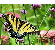 Yellow Tiger Swallowtail  Photographic Print