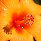 Orange Hibiscus by reflector