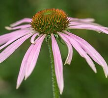 A Single Pink Echinacea by Judi Lion