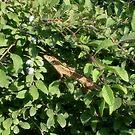 Small lizard by Ana Belaj
