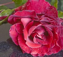 Red Rose with bud by closetpainter