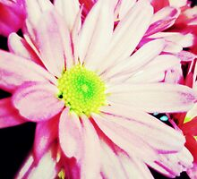 Daisy in pink  by thorngatephotos