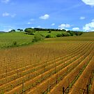 Vineyards  by annalisa bianchetti