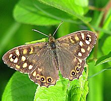 Speckled-Wood Butterfly (Pararge aegeria, Linnaeus, 1758) by Dennis Melling