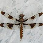 12 Spot Skimmer Resting by WildestArt