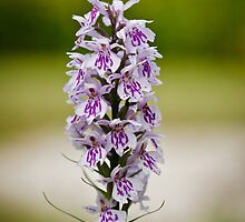 Common Spotted Orchid by Heidi Stewart