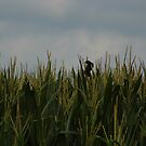 Blackbird In The Corn by WildestArt