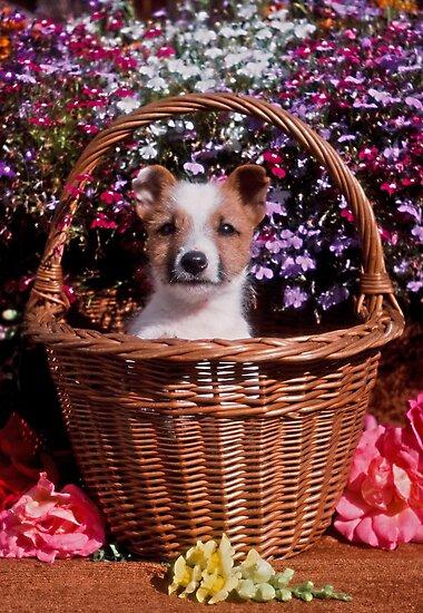 Jack Russell Puppy in Wicker Basket by Kawka