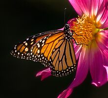 Monarch sipping dahlia nectar by Celeste Mookherjee