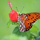 Florida butterfly by Bob Hardy
