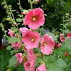 Pink Hollyhocks by goddarb