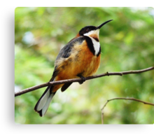 Young Eastern Spinebill Canvas Print