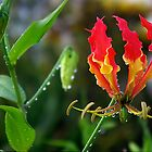Fire-Flame Lily by Kerryn Madsen-Pietsch