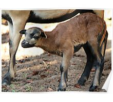 Cameroon Baby Sheep Poster