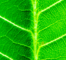 Macro shot of green leaf, nature pattern background Sticker