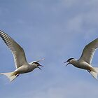 Arctic terns in flight by M.S. Photography & Art